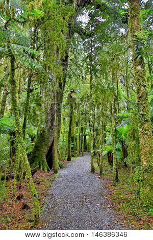 New Zealand Rain Forest In Westland National Park