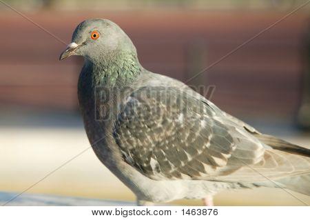Pigeon - Paning