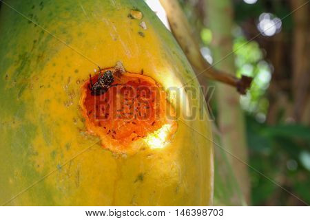 Ripe papaya on the tree. Close up Traces of insect eat ripe papaya on the tree.