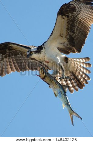Osprey landing with his prey over blue skies.
