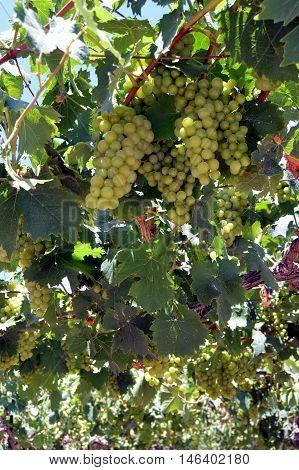 Vineyards in flowers in the Cretan campaign in Greece