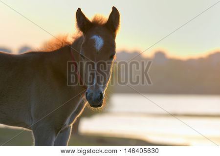 New young foal on field at sunset