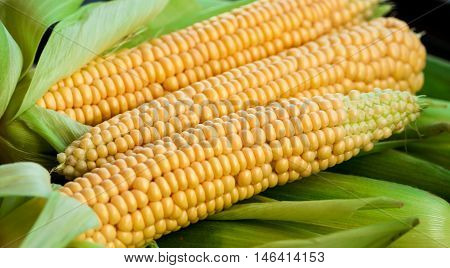 three pieces crude yellow corn with green leaves and hair lies on several closed cob, not cleared, natural look, vegetables