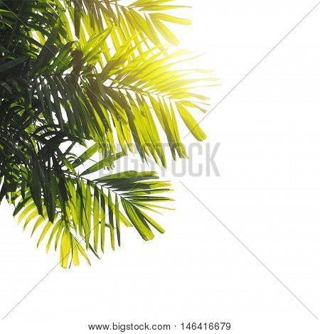 close up palm leaves at sunset isolated on white background