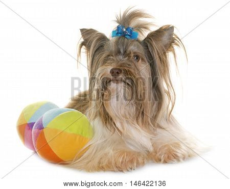 puppy biro yorkshire terrier in front of white background