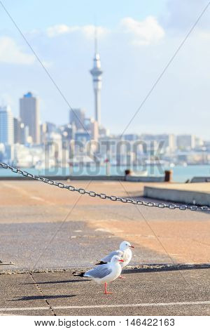 Focus on couple seagull birds with blurred background of Auckland's city.