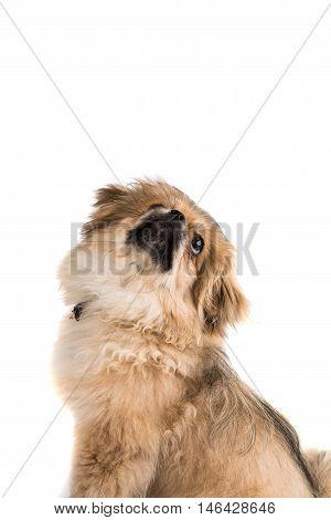 Pekingese small looking dog on white background