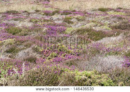 Colorful Heath Vegetation