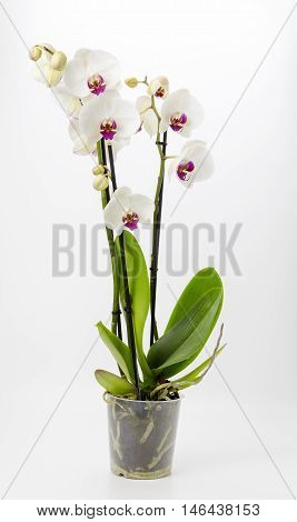 A potted white orchid on a plain background,