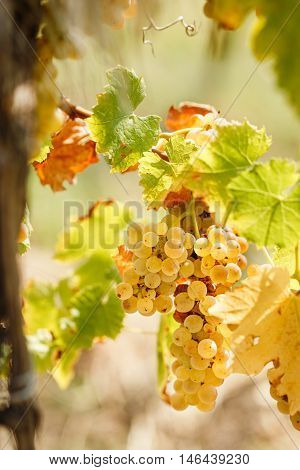 Golden grape Riesling (wine grape) on grapevine in vineyard lit by sunlight