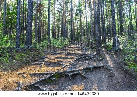 Walking through a pine forest the trail rises sharply up the hill. Numerous feet exposed roots of old trees, creating a magical picture.
