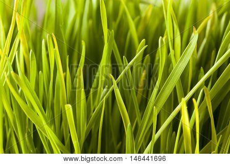 Healthy Raw Green Wheat Grass