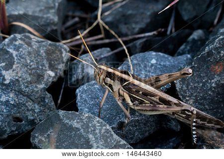 Grasshopper on stone dark close up, grasshopper and stone