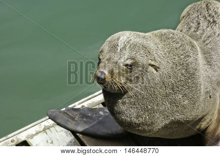 Wild african seal in Capetown at Victoria and Alfred Waterfront