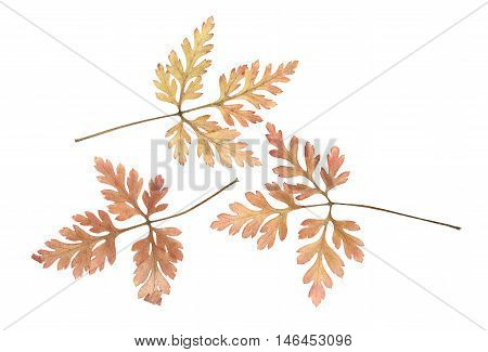 Pressed and dried leaves geranium (geranium robertianum) on a white background. For use in scrapbooking floristry (oshibana) or herbarium.