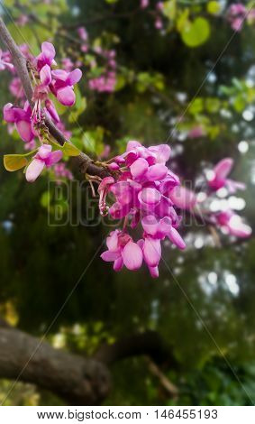 Judas tree, blossoms in April with blurry background