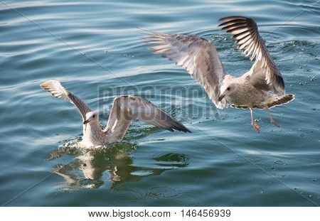 gulls on the water of Lake Baikal