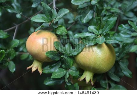 Two Pomegranates growing on tree with leaves