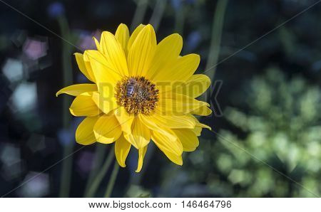 Close view of Arnica herb blossom with bee in a blurry background