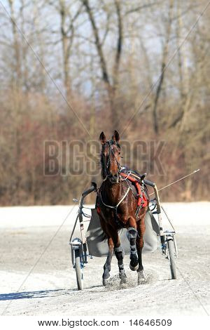 Harness racing training in Ljubljana Slovenia
