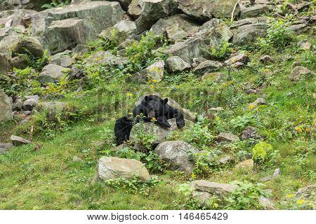 A resting black bear on a rocky landscape
