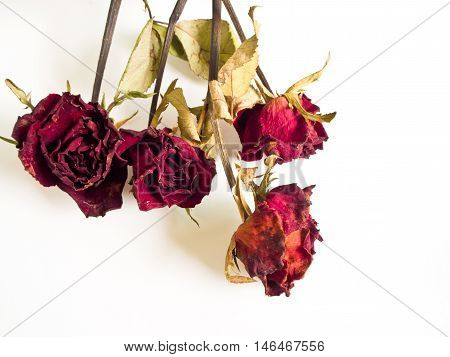 Petals and leaf of roses the Haggard
