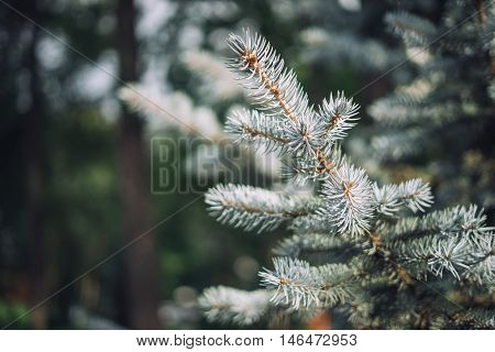 Sprig of blue spruce in the park. Day light summer. Ever-green tree. Christmas tree branch. The background for designers.