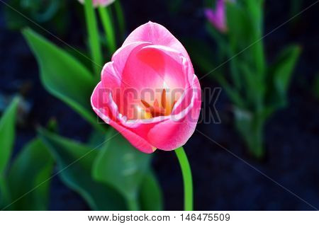 Pink tulip blooms beautifully. The pistil and stamens
