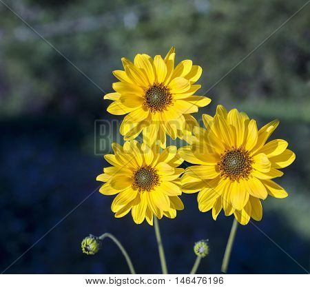 Close view of three Arnica herb blossoms in a blurry background
