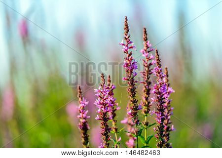 Closeup of budding flowering and overblown Purple Loosestrife or Lythrum salicaria plants in their natural habitat. It is a sunny day in summertime.