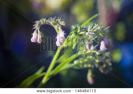 Flowers and leaves on Common Comfrey Symphytum officinale with bokeh background close-up selective focus shallow DOF