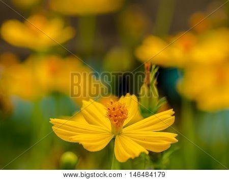 Yellow Cosmos flower Very beautiful in nature