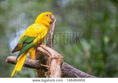 Golden conure parrot (Guaruba guarouba) at the Parque das Aves in Iguazu beautiful nature of Brazil. poster
