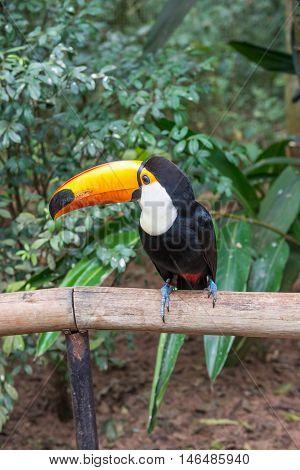Exotic Toucan Brazilian Bird In Nature In Foz