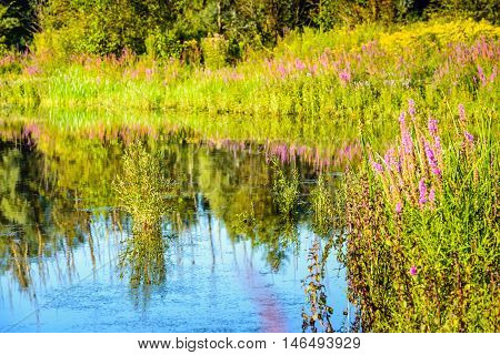 Purple Loosestrife and other colorful wildflowers reflected in the water surface of a natural pond. It is a sunny day in the summer season.