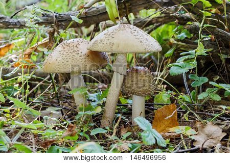 Three White Amanita (Amanita verna) growing in grass in the forest. Close-up.