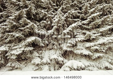 Wilds forest thicket. Siberian taiga thick. The solid impassable wall of snow-covered fir trees. Winter background.