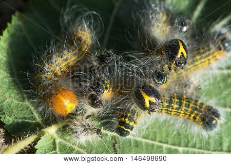 Buff-tip moth (Phalera bucephala) caterpillars before and after moulting. Larvae in the family Notodontidae feeding gregariously showing light colour of freshly moulted insect