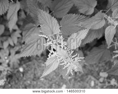 Nettle (urtica) Plant In Black And White