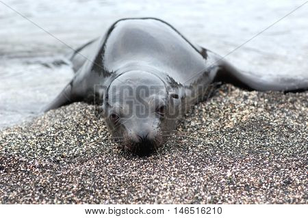 lonely sea lion pup on Galapagos beach
