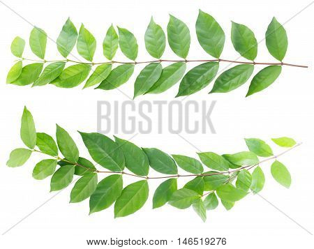 Set of creeper leaves isolated on white background