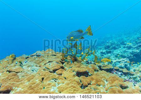 Oriental sweetlips (Plectorhinchus vittatus) and soft corals Maldives