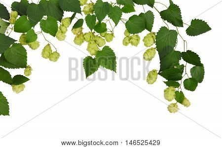 Branches hop. young buds of hops with leaves isolated on white background without shadows. Fresh green hops with cones . Beer production ingredient. Brewing