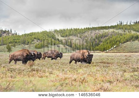Herd of bison walking in valley with dark storm clouds with leader
