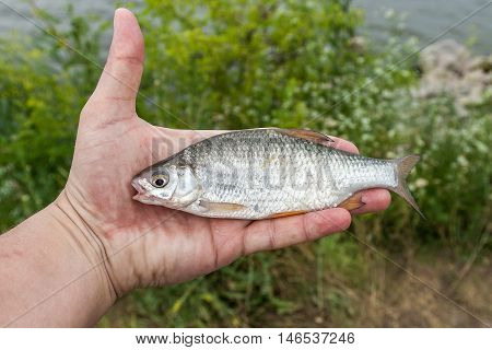 Small roach in the hand of the fisherman.