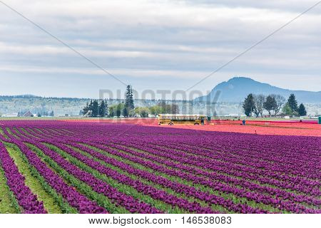 Mt Vernon, USA - April 6, 2016: Rows of red and purple tulips field with school bus and people in morning clouds
