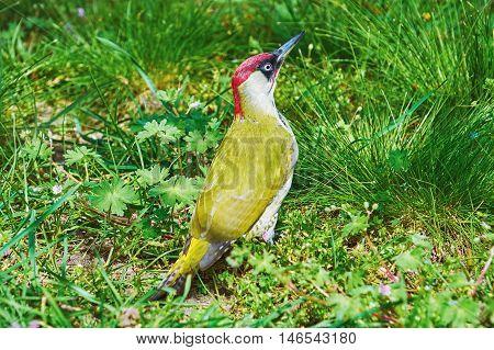 European Green Woodpecker Sitting in the Grass