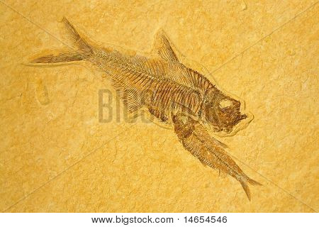 Skeletons Fishes