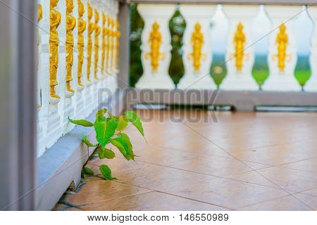 Bodhi tree (Ficus religiosa) Growing from balcony of temple.