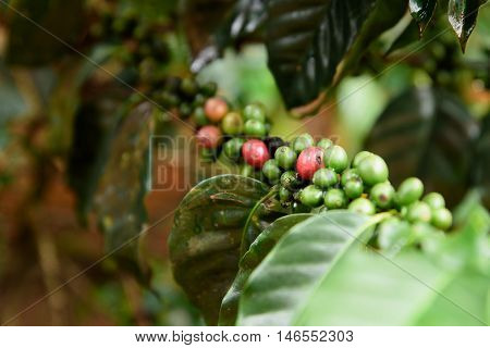 Coffee beans red and green ripening on tree in Champasak Lao.